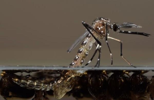 Umur nyamuk sangatlah pendek, nyamuk betina hanya 10-56 hari dan jantan 5-7 hari. (CNN)