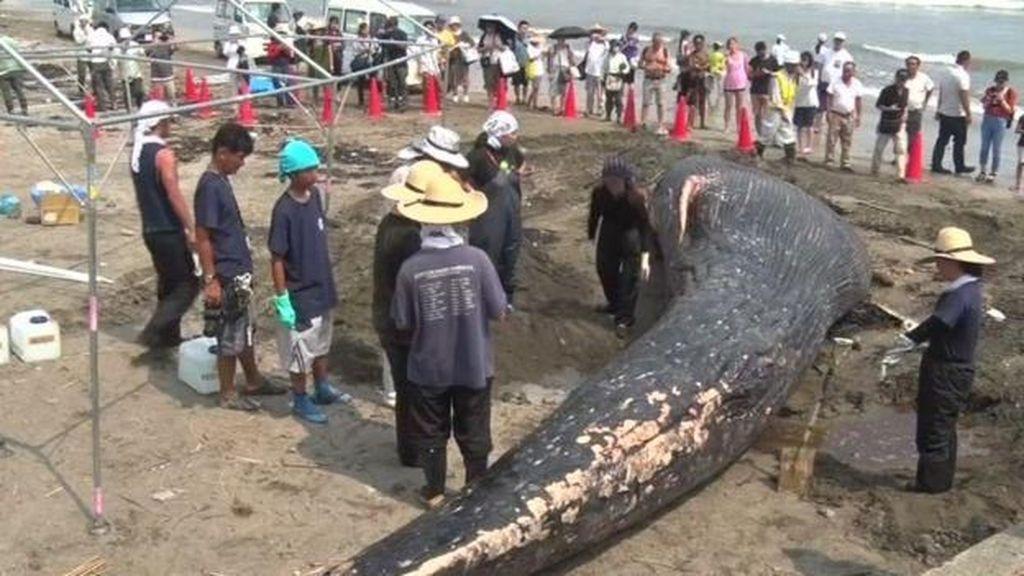 Paus Biru Ditemukan Mati Terdampar di Pantai Jepang