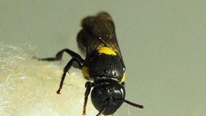 Peneliti Kembangkan Bioplastik dari Sarang Lebah Australia