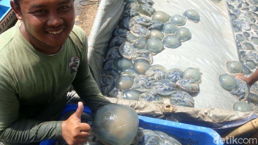 Musim Angin Timur, Nelayan Cilacap Panen Ubur-Ubur 4 Ton Sehari