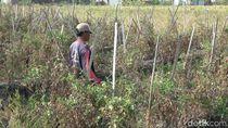 Saluran Irigasi Mengering, Tanaman Sayur di Pantura Gagal Panen