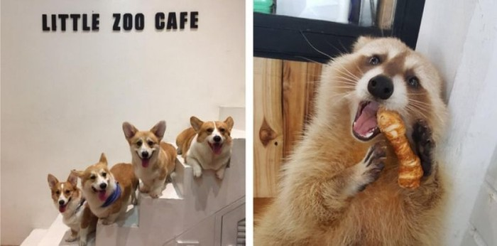 Di sini, kamu bisa makan sambil main dengan beragam hewan. Mulai dari kucing, anjing, rakun, rubah Arktik hingga burung. Semua hewan yang ada merupakan hewan peliharaan pemilik Little Zoo Cafe yang ada di Sukothai Ave 99, Bangkok. Foto: Facebook Little Zoo Cafe