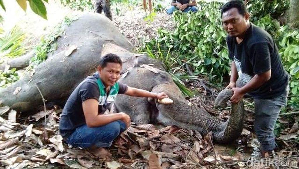 1 Gajah di Aceh Mati Diduga Tersengat Listrik