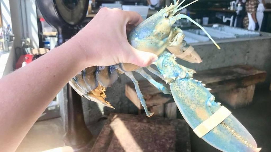 Restoran Ini Pilih Lepaskan Lobster Cotton Candy Langka Daripada Memasaknya