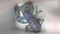 Restoran Ini Pilih Lepaskan Lobster 'Cotton Candy' Langka Daripada Memasaknya