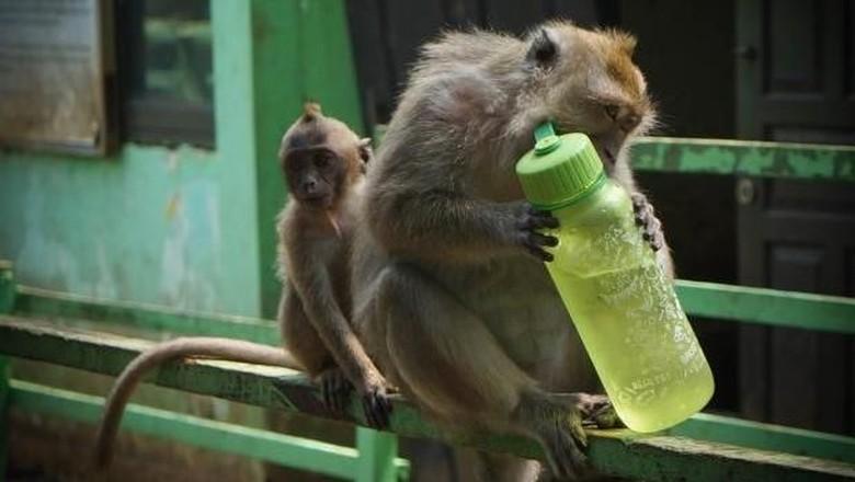 Monyet di Suaka Margasatwa Muara Angke