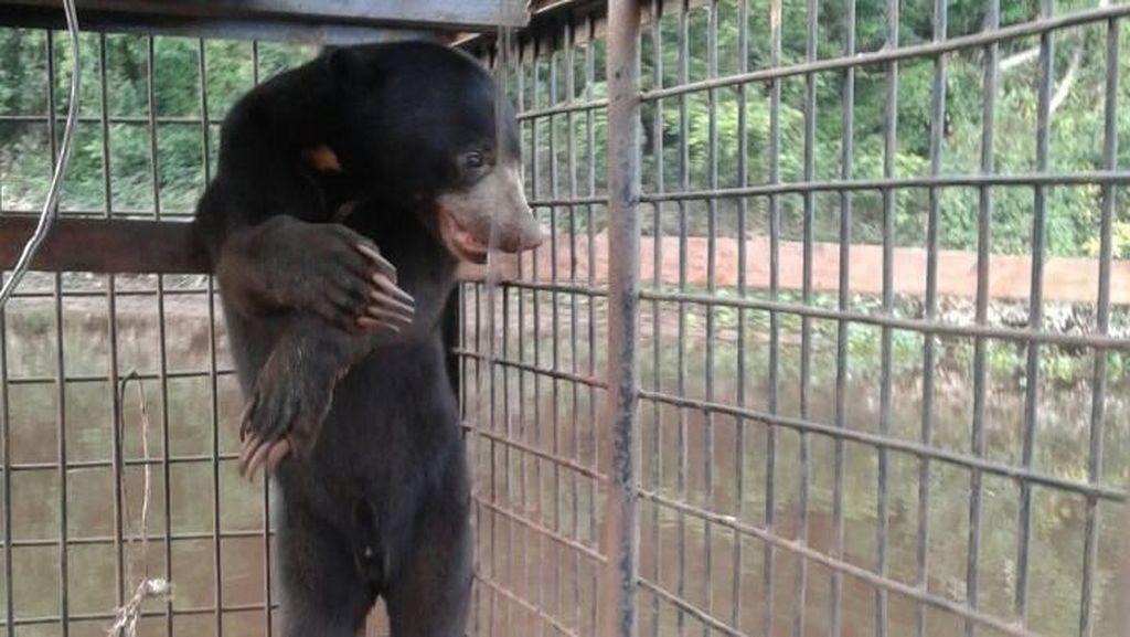 Petugas Evakuasi Sepasang Beruang dari Permukiman Warga di Riau