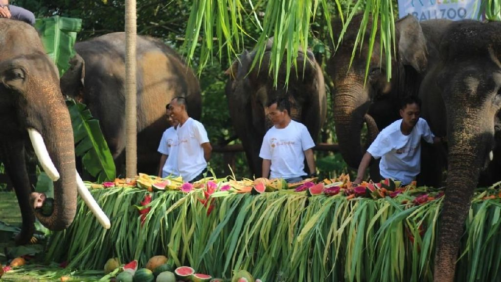 Sambut World Elephant Day, Bali Zoo Gelar Pesta Buat Gajah