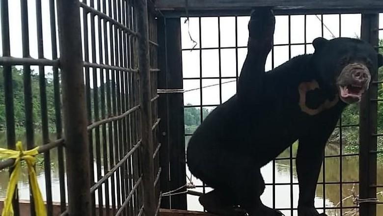 Beruang Madu Terjerat Perangkap Babi di Riau