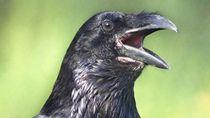 Taman Rekreasi di Prancis Latih Burung Gagak Jadi Tukang Sampah