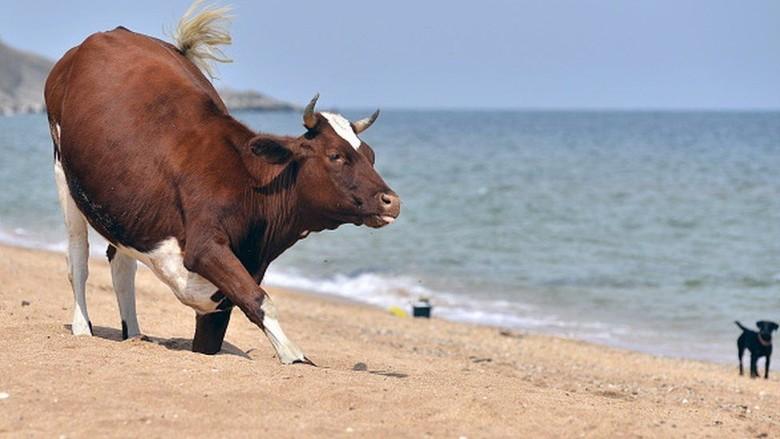 Peternak Swedia Boleh Gembalakan Sapi ke Kawasan Bugil di Pantai
