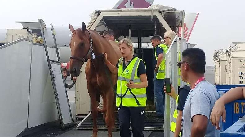 Perlakuan Spesial untuk Kuda-kuda Asian Games 2018