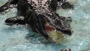 Foto: Perkenalkan Muja, Aligator Amerika Tertua di Dunia