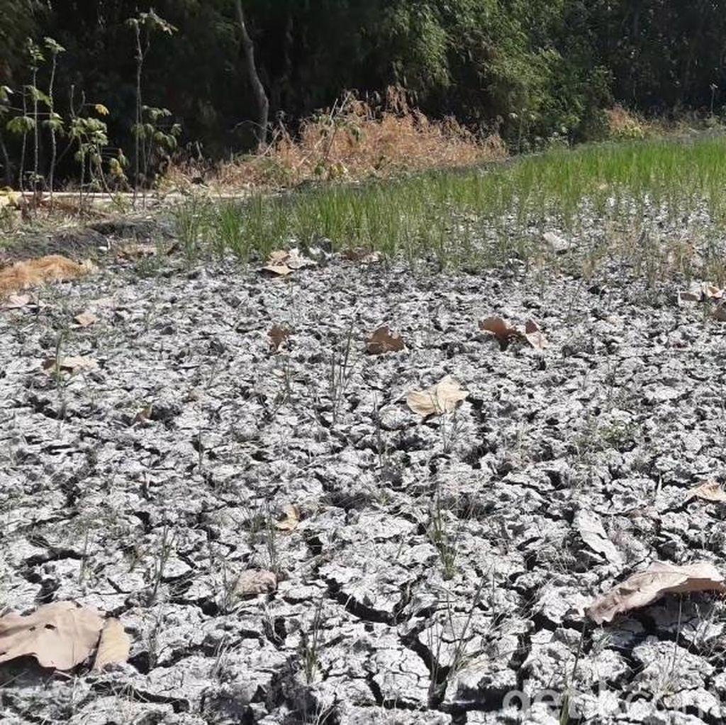 Sumur di Ngawi Tetap Semburkan Gas, Sawah Kering Padi Mati