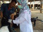Razia Hewan Kurban di Ponorogo, Petugas Temukan Mata Sapi Cacingan