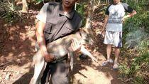 Kawanan Babi Hutan Masuk Permukiman, Warga Ciamis Resah