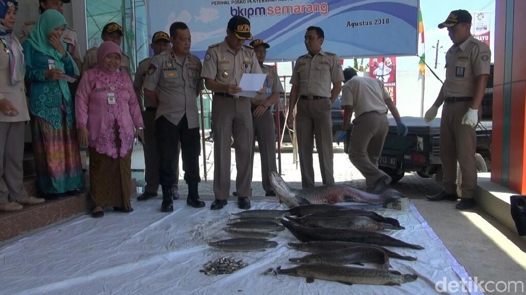 Pakai Minyak Cengkeh, 78 Ikan Berbahaya di Semarang Dimusnahkan