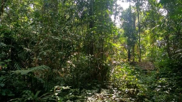 Dengan mitos itu, hutan Gunung Dukuh kini masih terjaga keasriannya. Pohon-pohon yang berusia ratusan tahun dengan batang pohon berdiameter cukup besar masih berdiri kokoh (Dadang Hermansyah/detikTravel)