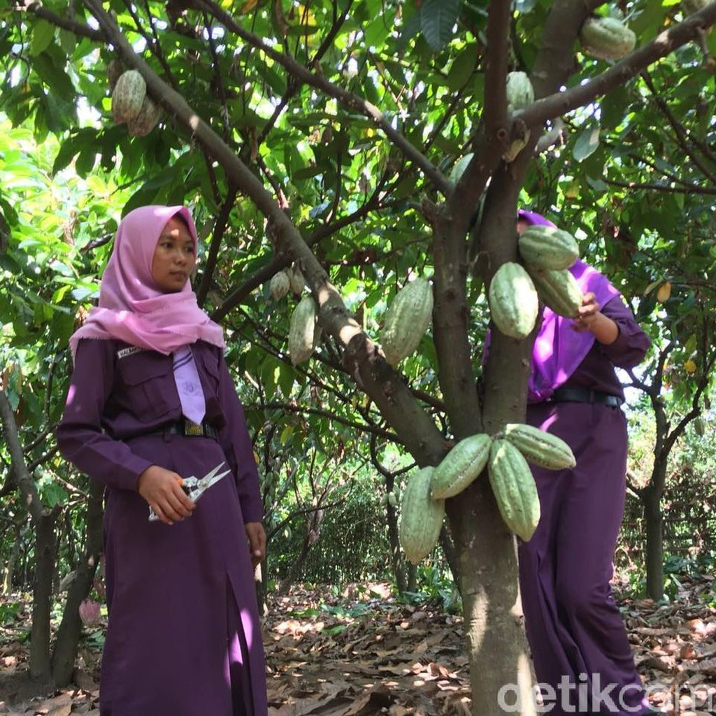 Produksi Kakao Melimpah, Harga di Petani Masih Turun Naik