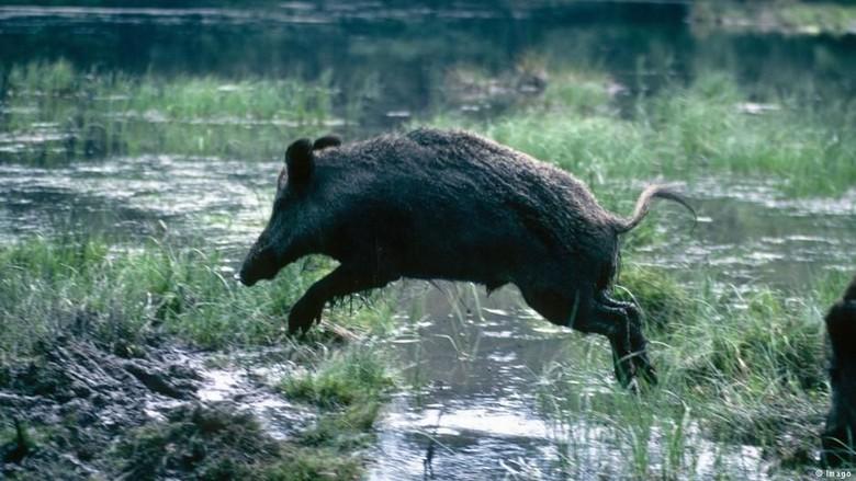 87+ Gambar Babi Hutan Celeng Kekinian
