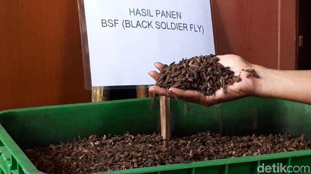 Manfaatkan Larva, Begini Cara Surabaya Kurangi Sampah