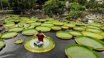 Yuk Rasakan Sensasi Duduk di Bunga Teratai Raksasa di Taiwan