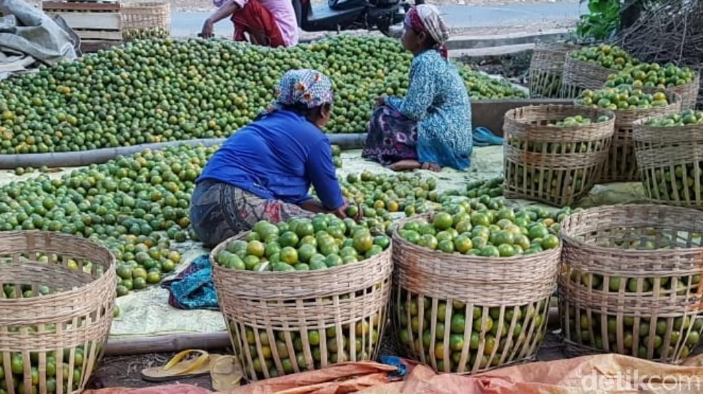 Panen Jeruk Siam di Pasuruan Merosot, Ini Penyebabnya