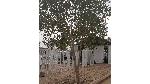 Potret Pohon Sukarno yang Rimbun di Padang Arafah