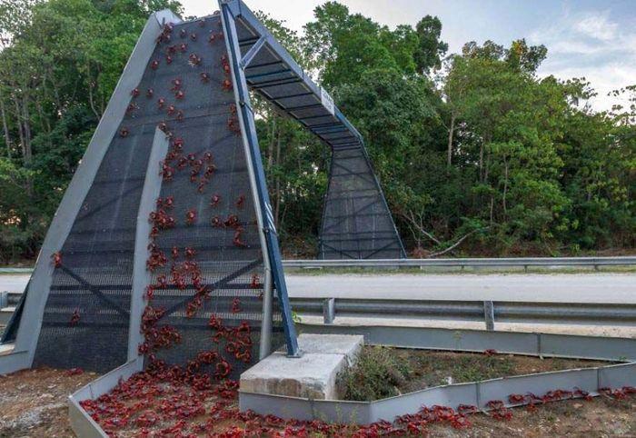 Jembatan Kepiting di Christmas Island. Jembatan ini dibangun khusus untuk kepiting. Adanya jembatan ini membuat kepiting tidak terlindas karena tidak melewati jalan raya. Boredpanda/Kristy Faulker.