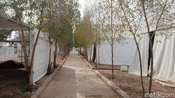 Pohon Sukarno di Arafah Kian Rimbun, Bisa Kurangi Panas ke Jemaah