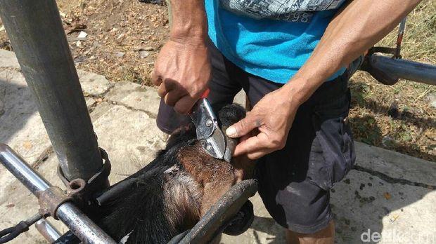 Salon kambing