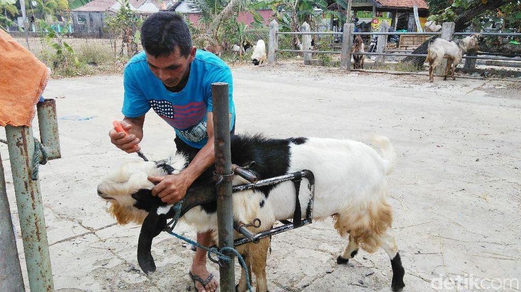 Biar Sehat, Jasa Salon Kambing Laris Jelang Idul Adha