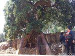 Kisah Pohon Lengkeng Berusia Ratusan Tahun Penunggu Gua Sunyaragi
