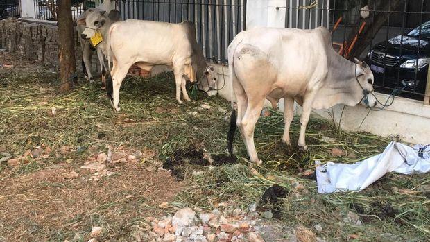 Masjid Al Azhar telah menghimpun  51 ekor sapi dan kambing 803 ekor.