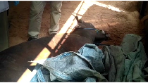 Video: Sapi Ini Mati Mendadak Sebelum Disembelih