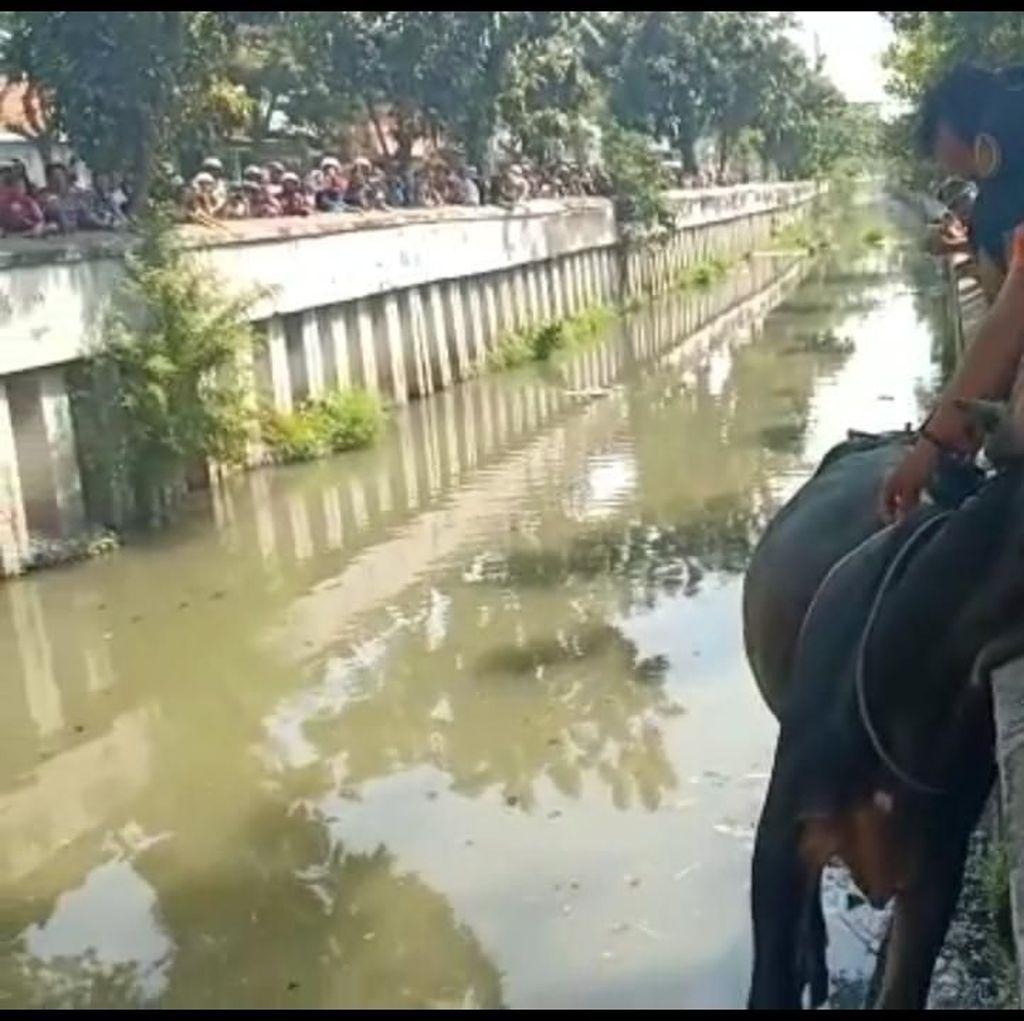 Lagi, Seekor Sapi Kurban Lepas dan Nyemplung Sungai di Surabaya