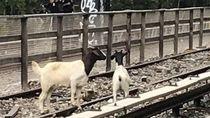 2 Kambing Keluyuran, Jalur Kereta Bawah Tanah New York Terganggu