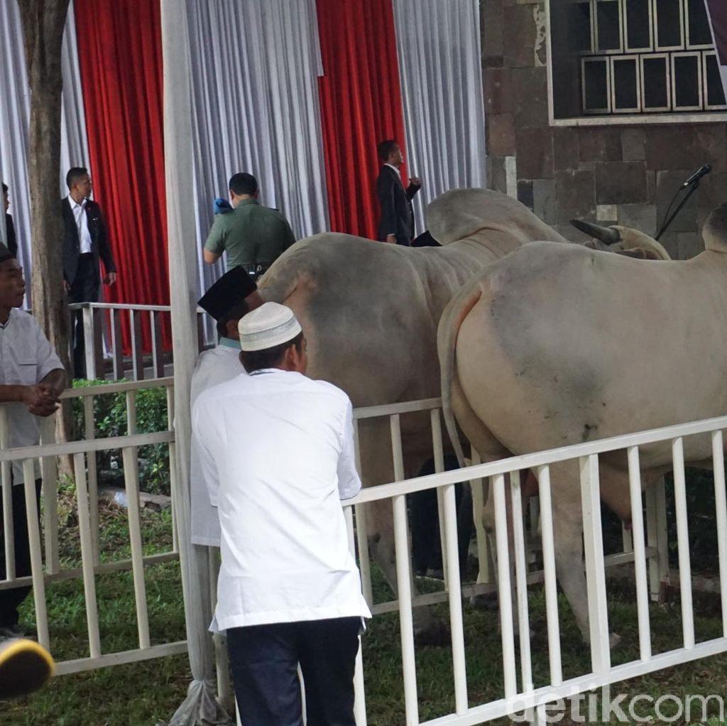 Penampakan Sapi Kurban Jokowi Seberat 1,5 Ton di Istiqlal