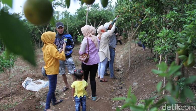 Piknik Bersama Keluarga Di Kebun Jeruk Jersey Bandung