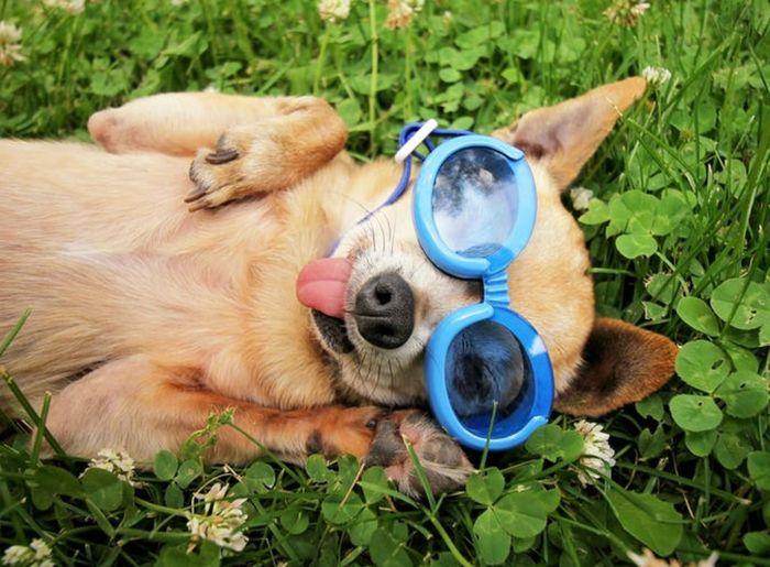 Lazimnya kacamata dibuat untuk dipakai manusia, yang satu ini malah dibuat untuk anjing. Tapi jangan salah, meski terlihat konyol, dia mampu menghasilkan jutaan dolar. Istimewa/Therichest.