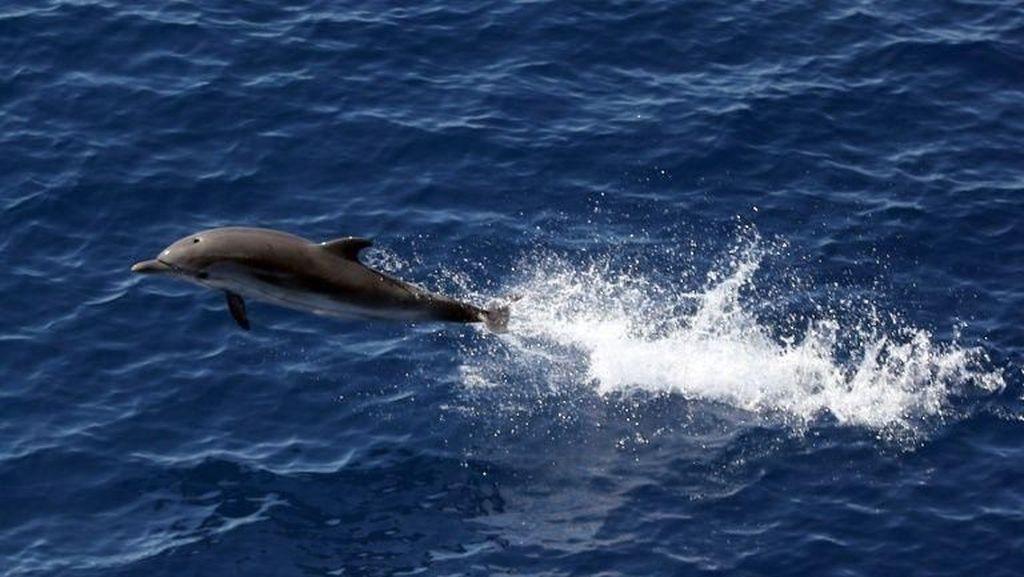 Sedih! Lumba-lumba Terdampar karena Terlilit Jaring di Raja Ampat