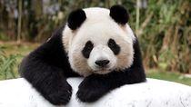 Yuk Senyum Dulu, Lihat Tingkah Lucu Panda China Ini