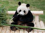 Lucunya Lihat Panda Makan Kue Bulan Raksasa
