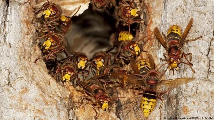 Selain berbahaya karena sengatannya, ternyata ada juga tawon yang bisa mengubah laba-laba menjadi seperti zombie. Foto: DW (News)
