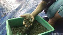 Cerita Sukses Warga Lamongan Ternak Lalat Tentara Hitam, Seperti Apa Sih?