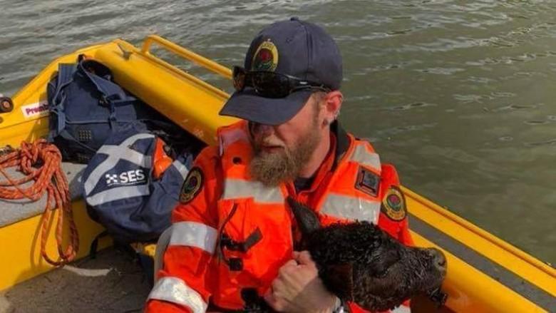 Belasan Bangkai Sapi Ditemukan Terapung di Sungai Richmond NSW