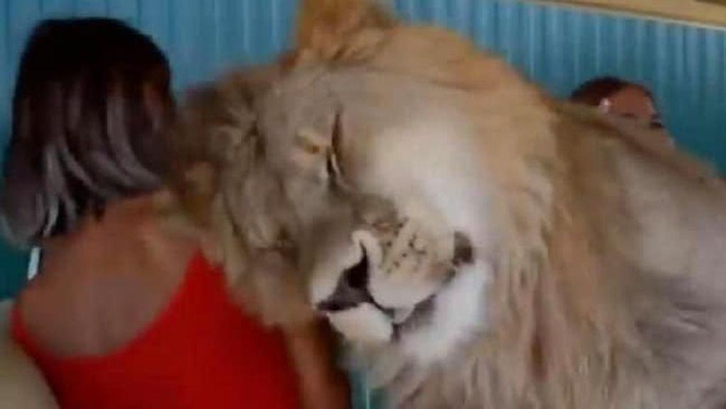 Alamak, Singa Naik ke Dalam Mobil Rombongan Turis