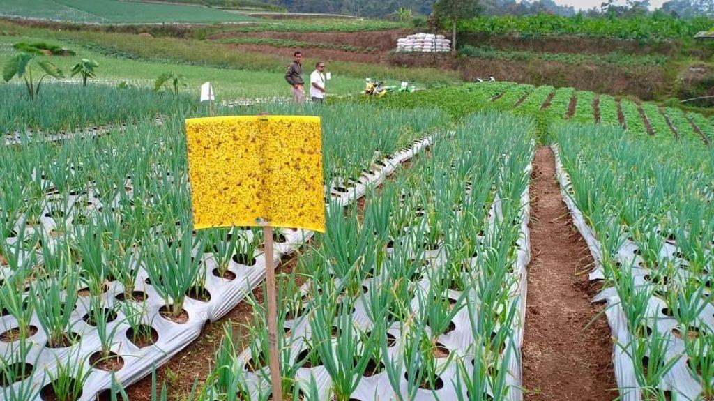 Basmi Hama, Petani Bawang Putih Disarankan Pakai Jebakan Kuning
