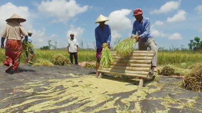 Sejumlah petani melaksanankan panen padi jenis Inpari 40 di Desa Banyu Urip, Kecamatan Praya Barat, Kabupaten Lombok Tengah NTB/Foto: Dok Kementan