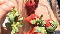 Atasi Kasus Stroberi Berjarum, Pembuat Bir di Australia Ciptakan Bir Stroberi